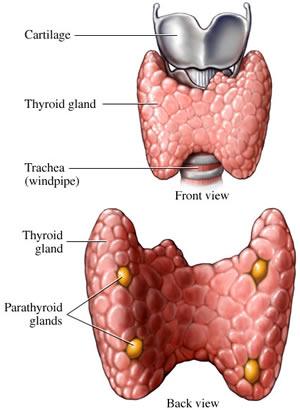 parathyroid glands located - Akba.greenw.co